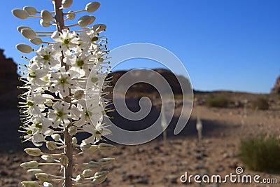 Desert Lupin
