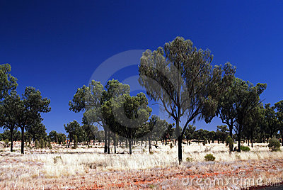 Desert Oak Trees on spinifex plain Editorial Photography