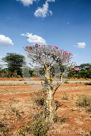 Desert rose, pretty and rare plant