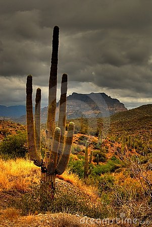 Desert Saguaro 81