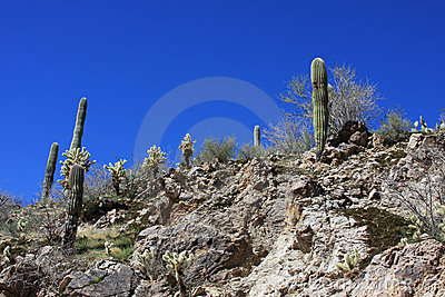 Desert saguaros in Arizona