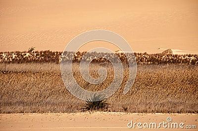 Desert Sahara oasis on sunset, Egypt