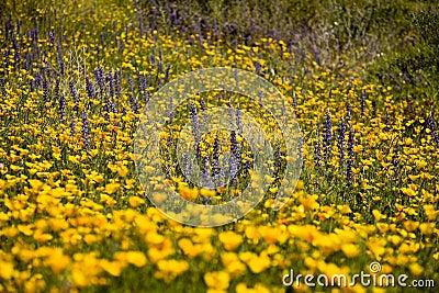 Desert Spring Wildflowers
