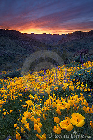 Free Desert Sunset And Poppies Royalty Free Stock Images - 4961719