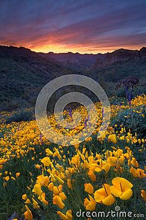 Desert Sunset and Poppies