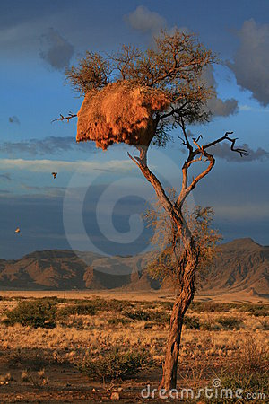Desert sunset weavers nest namibia