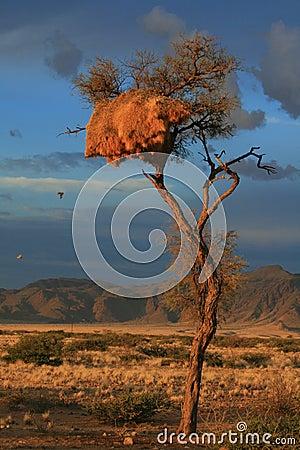 Desert sunset weavers nest namibia