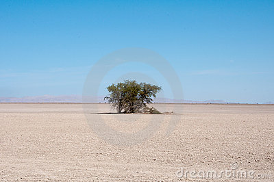 Desert with a tree, pampa del Tamarugal