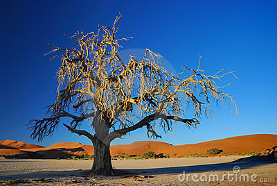 Desert Tree in the Spot Light of the Sun