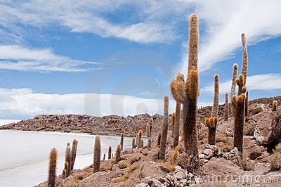 Desert Vegetation On Incahuasi Island (bolivia)))