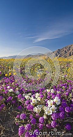 Free Desert Wildflower. Royalty Free Stock Photo - 4790845
