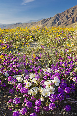 Desert wildflower.