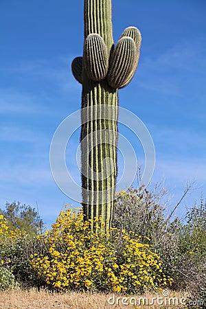 Desert Wildflowers and Saguaro