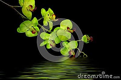 Designer Orchid Flower
