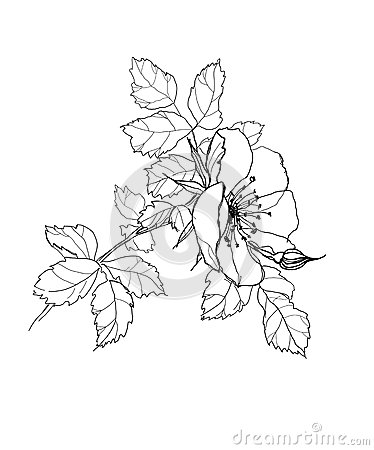 Photo Libre De Droits Dessin Au Crayon De Fleur De Rose Image33451595 on draw a sketch
