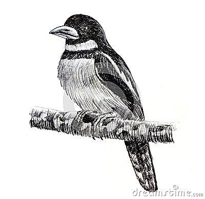 Dessin noir et rouge d 39 oiseau de broadbill illustration - Dessin animaux noir et blanc ...