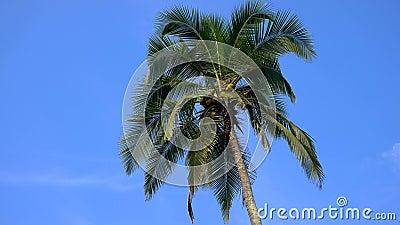 Dessus de palmier de noix de coco avec le fond de ciel bleu banque de vidéos
