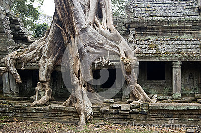 Destructive tree, Preah Khan temple, Cambodia