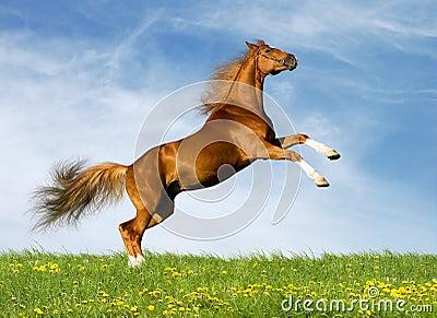 Det kastanjebruna fältet galopperar hästen