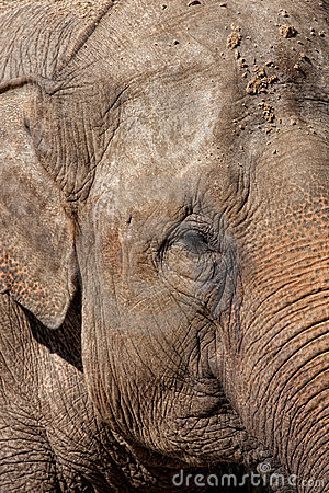 Detail of an Asian Elephant