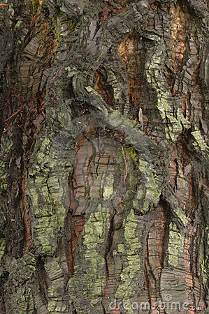 Detail of bark of a  Sequoia tree