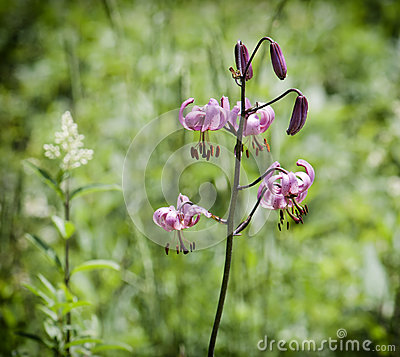 Picture of lilium martagon