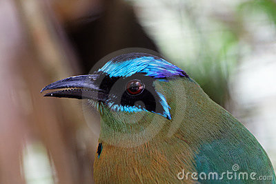 Detail of a blue crowned Motmot