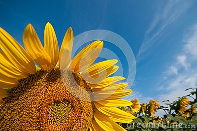 Detail of a flower sunflower
