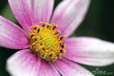 Detail of a Garden Cosmos flower