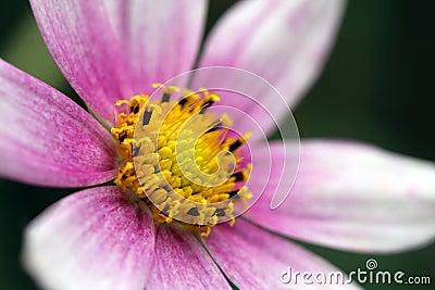 Detail of a Garden Cosmos flower
