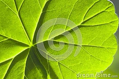 Detail geranium leaf macro