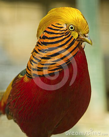 Detail of Golden Pheasant