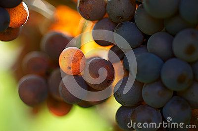 Detail of grapes