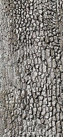 Detail, gray tree bark