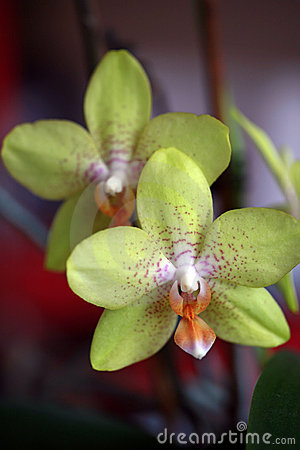 Detail of green orchid