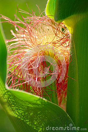 Detail Of Maize