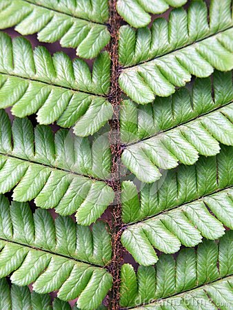 Free Detail Of A Fern Leaf In Close Up Royalty Free Stock Photography - 92468877