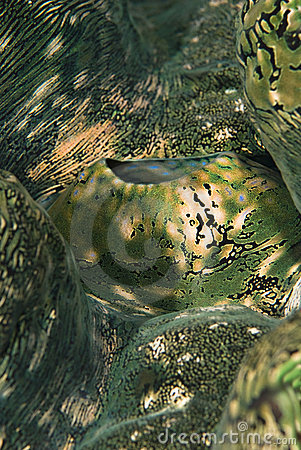 Free Detail Of A Fluted Giant Clam S Mantle. Stock Images - 14710934