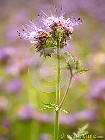 Free Detail Of Fresh Purple Tansy In Field In Background. Green Blue Purple Flower Stock Images - 77814104