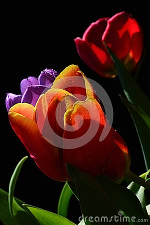 Free Detail Of Fresh Wet Tulip Bouquet With Red, Patchy Orange With Yellow And Violet Tulip Flowers, Black Background Stock Photos - 93589103