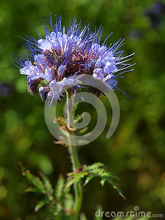 Free Detail Of Light Blue Flower Purple Tansy In Field In Background. Green Blue Purple Flower In Blossom Are Shaking Royalty Free Stock Photography - 41583497