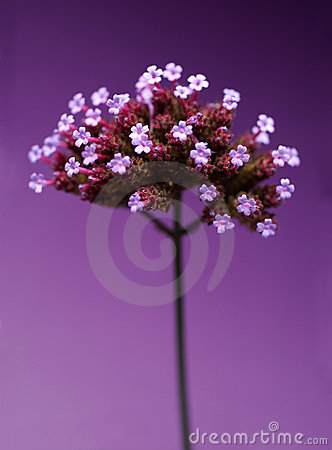 Free Detail Of Purple Flower Stock Image - 3712101