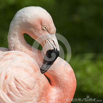 Free Detail Of The Head Of One Pink Flamingo. Stock Image - 76085261