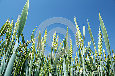 Detail of organic green grains against blue sky