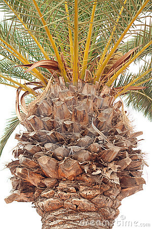Detail of palm tree trunk