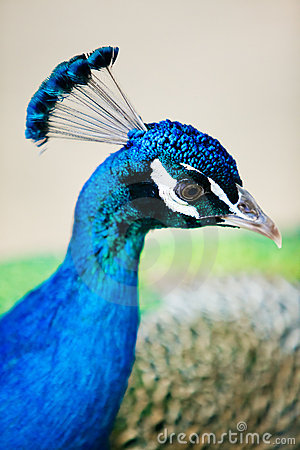 Detail of peacock s head from profile