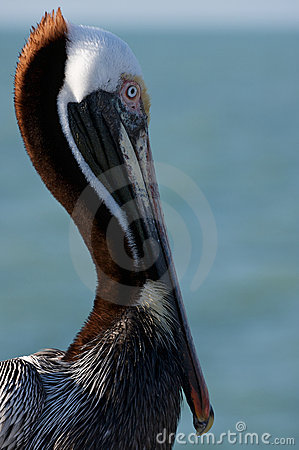 Detail of pelican.