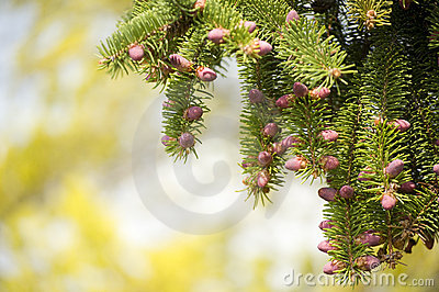 Detail of a Pine Tree