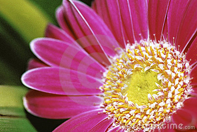 Detail of  Pink Gerbera