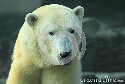 Detail of polar bear